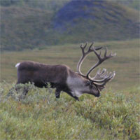 Caribou, Denali National Park, Alaska, Naturalist Journeys