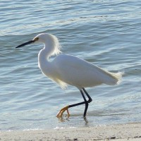 Snowy Egret, South Carolina, Folly Beach, South Caroline Birding Tour, South Carolina Nature Tour, Naturalist Journeys