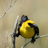Yellow-headed Blackbird, Kansas, Tallgrass Prairie, Kansas Nature Tour, Tallgrass Prairie Tour, Naturalist Journeys