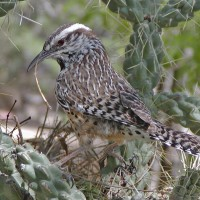 Cactus Wren, Southeast Arizona, Arizona, Arizona Nature Tour, Arizona Birding Tour, Naturalist Journeys