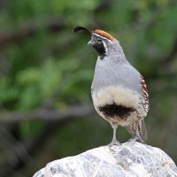Gambel's Quail, Southeast Arizona, Arizona, Arizona Nature Tour, Arizona Birding Tour, Naturalist Journeys