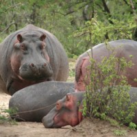 Hippopotamus, Tanzania, Naturalist Journeys