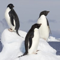 Adelie Penguins, Antarctica, Antarctic Nature Cruise, Antarctic Cruise, Naturalist Journeys