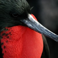 Frigatebird, Galapagos, Galapagos Islands, Naturalist Journeys