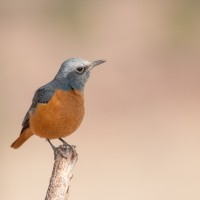 Short-toed Rock Thrush, Namibia, Naturalist Journeys