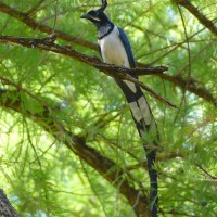Black-throated Magpie Jay, Alamos, Mexico, Naturalist Journeys
