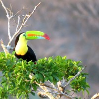 Keel-billed Toucan, Belize, Belize Nature Tour, Belize Birding Tour, Naturalist Journeys
