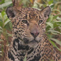 Jaguar, Pantanal, Brazil, Naturalist Journeys