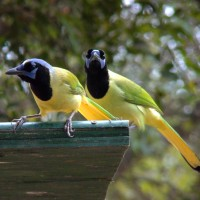 Green Jay, South Texas, South Texas Nature Tour, South Texas Birding Tour, Naturalist Journeys