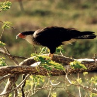 Crested Caracara, Texas Hill Country, Naturalist Journeys