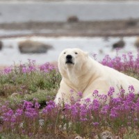 Polar Bear, Churchill, Arctic, Churchill Nature Tour, Churchill Wildlife Tour, Arctic Nature Tour, Arctic Wildlife Tour, Arctic Birding Tour, Naturalist Journeys