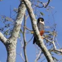 Bat Falcon, Belize, Naturalist Journeys