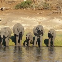 Elephants, Okavango Delta, Botswana, African Safari, Botswana Safari, Naturalist Journeys