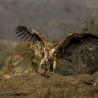 Griffon Vulture, Spain, Spanish Birding Tour, Naturalist Journeys