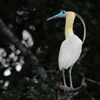 Capped Heron, Amazon River Cruise, Amazon Basin, Peru, Naturalist Journeys