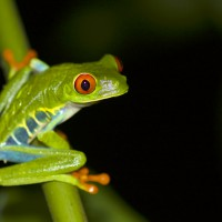 Red-eyed Tree Frog, Costa Rica, Costa Rica Nature Tour, Naturalist Journeys