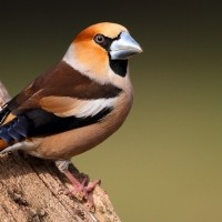 Hawfinch, Austria, Hungary, Naturalist Journeys