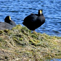 Giant Coot, Argentina, Naturalist Journeys
