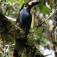 Plate-billed Mountain Toucan, Ecuador, Naturalist Journeys